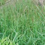 Molinia caerulea subsp. caerulea 'Dauerstrahl' - Pijpenstrootje - Molinia caerulea subsp. caerulea 'Dauerstrahl'