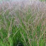 Molinia caerulea subsp. caerulea 'Heidezwerg' - Pijpenstrootje - Molinia caerulea subsp. caerulea 'Heidezwerg'