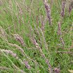 Molinia caerulea subsp. caerulea 'Moorhexe' - Pijpenstrootje - Molinia caerulea subsp. caerulea 'Moorhexe'