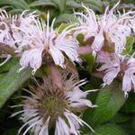 Monarda bradburiana 'Maramek' - Bergamotplant - Monarda bradburiana 'Maramek'
