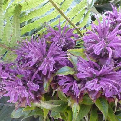 Monarda 'Blaustrumpf' - Bergamotplant - Monarda 'Blaustrumpf'