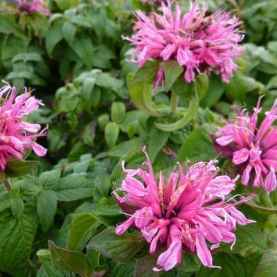 Monarda didyma 'Cranberry Lace' - Bergamotplant - Monarda didyma 'Cranberry Lace'