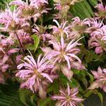 Monarda 'Croftway Pink' - Bergamotplant - Monarda 'Croftway Pink'