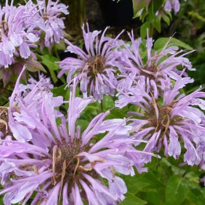Monarda 'Elsie's Lavender' -