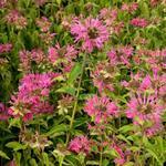 Bergamotplant - Monarda 'Marshall's Delight'
