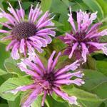 Monarda 'Mohawk' - Bergamotplant - Monarda 'Mohawk'