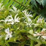 Monarda 'Schneewittchen' - Bergamotplant - Monarda 'Schneewittchen'