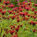 Monarda 'Squaw'  - Bergamotplant - Monarda 'Squaw'