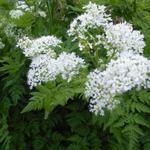 Roomse - doorlevende kervel - Myrrhis odorata