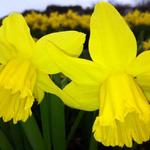 Narcis - Narcissus 'February Gold'
