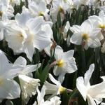 Narcissus 'Mount Hood' - Narcis - Narcissus 'Mount Hood'