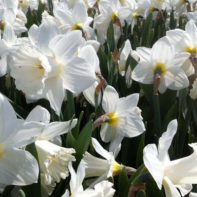 Narcissus 'Mount Hood' - Narcis