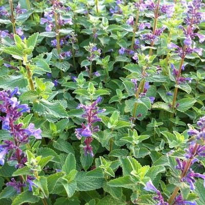Nepeta grandiflora 'Blue Danube' -