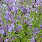 Nepeta grandiflora 'Pool Bank' - Kattekruid - Nepeta grandiflora 'Pool Bank'