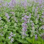 Nepeta grandiflora 'Summer Magic' - Kattekruid - Nepeta grandiflora 'Summer Magic'