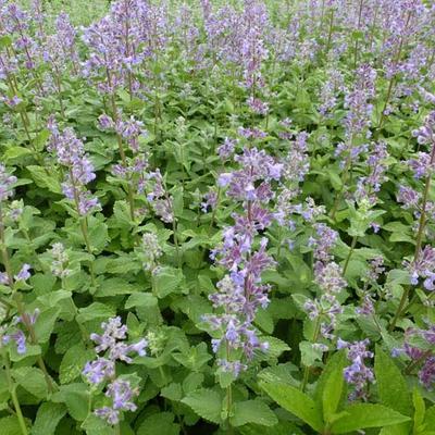 Nepeta grandiflora 'Summer Magic' - Kattekruid - Nepeta grandiflora 'Summer Magic'