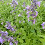 Nepeta 'Weinheim Big Blue' - Kattekruid
