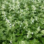 Nepeta racemosa 'Snowflake' - Kattekruid - Nepeta racemosa 'Snowflake'