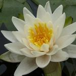 Nymphaea tetragona - Waterlelie, dwergwaterlelie - Nymphaea tetragona