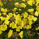 Oenothera fruticosa 'Michelle Ploeger' - Oenothera fruticosa 'Michelle Ploeger' - Teunisbloem