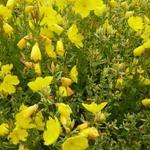 Oenothera fruticosa 'Silberblatt' - Oenothera fruticosa 'Silberblatt' - Teunisbloem