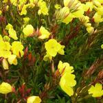 Oenothera fruticosa subsp. glauca - Teunisbloem - Oenothera fruticosa subsp. glauca
