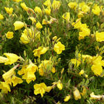 Oenothera fruticosa 'African Sun' - Teunisbloem - Oenothera fruticosa 'African Sun'