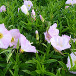 Teunisbloem - Oenothera speciosa 'Siskiyou'