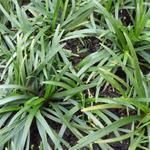 Ophiopogon japonicus 'Minor' - Slangebaard / Japans slangengras - Ophiopogon japonicus 'Minor'