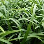 Ophiopogon planiscapus - Slangebaard / Japans slangengras - Ophiopogon planiscapus