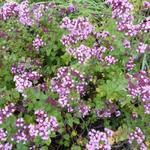 Origanum laevigatum 'Rosenkuppel' - Marjolein - Origanum laevigatum 'Rosenkuppel'