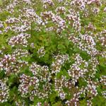 Origanum vulgare 'Aureum' - Goudmarjolein, goudoregano - Origanum vulgare 'Aureum'