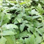 Koningsvaren, Keizersvaren - Osmunda regalis 'Purpurascens'