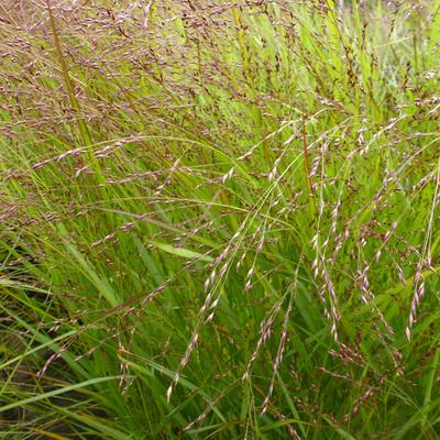 Panicum virgatum 'Kupferhirse' -