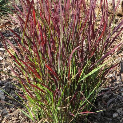 Panicum virgatum 'Sangria' - Vingergras - Panicum virgatum 'Sangria'