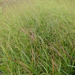 Panicum virgatum 'Strictum' - Vingergras - Panicum virgatum 'Strictum'