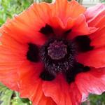 Papaver orientale 'Beauty of Livermere' - Oosterse papaver