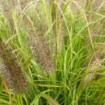Pennisetum alopecuroides 'Black Beauty'  - Lampenpoetsersgras - Pennisetum alopecuroides 'Black Beauty'