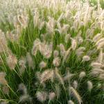 Lampenpoetsersgras - Pennisetum alopecuroides 'Goldstrich'