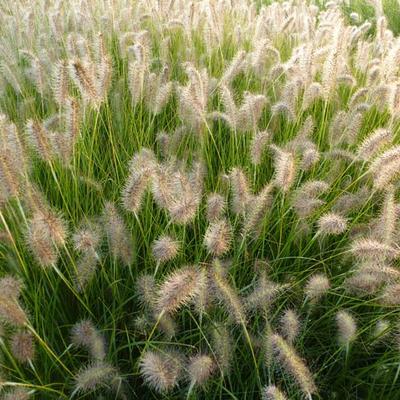 Pennisetum alopecuroides 'Goldstrich' -