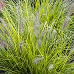 Pennisetum alopecuroides 'Hameln Gold' - Lampenpoetsersgras - Pennisetum alopecuroides 'Hameln Gold'