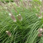 Lampepoetsersgras - Pennisetum alopecuroides 'Japonicum'