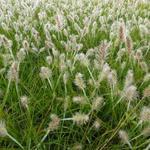Lampepoetsersgras - Pennisetum alopecuroides 'Little Bunny'