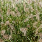 Pennisetum alopecuroides 'Little Honey' - Lampenpoetsersgras - Pennisetum alopecuroides 'Little Honey'