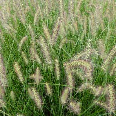Pennisetum alopecuroides 'Magic' - Lampenpoetsersgras - Pennisetum alopecuroides 'Magic'