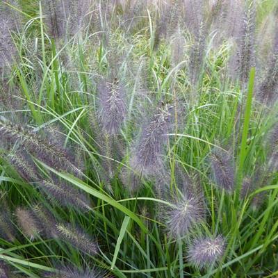 Pennisetum alop. national arboretum -