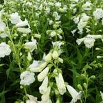 Penstemon 'White Bedder' - Schildpadbloem - Penstemon 'White Bedder'
