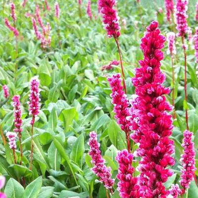 Persicaria affinis 'Darjeeling Red'  - Duizendknoop - Persicaria affinis 'Darjeeling Red'