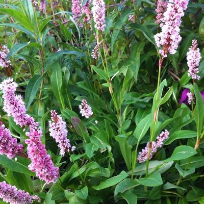 Persicaria affinis 'Superba' - Duizendknoop - Persicaria affinis 'Superba'