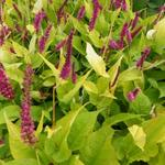 Persicaria amplexicaulis 'Golden Arrow' - Duizendknoop - Persicaria amplexicaulis 'Golden Arrow'